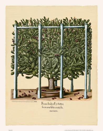 Beautiful botanical plant print by Basilius Besler, Indian Fig. Originally done in 1613.