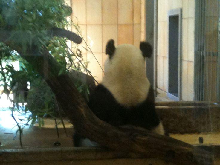 Pandas in Europa: Diese 5 Zoos halten den Großen Panda