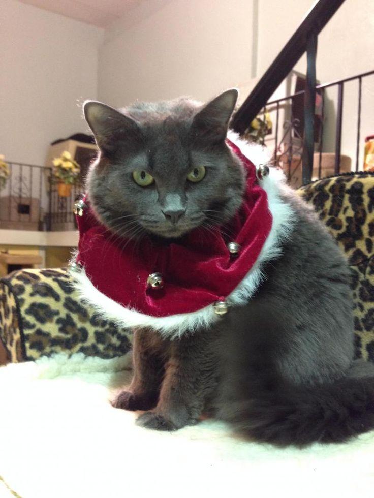 Adopt Skyrius on Petfinder Cat sanctuary, Grey cats, Fur