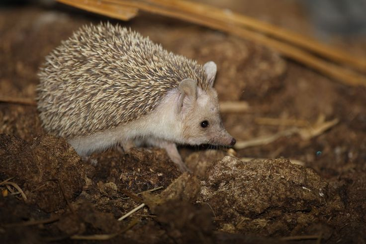206 Best Hedgehogs Images On Pinterest Hedgehogs Fluffy