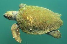 Loggerhead sea turtle in Argostoli harbor     check it out at wildlifesense.com