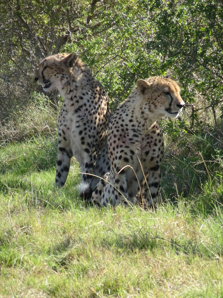 Traveling in South Africa: Leopards at Addo Elephant National Park