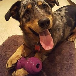 Potomac, Maryland - Australian Shepherd. Meet Major, a for adoption. https://www.adoptapet.com/pet/20389076-potomac-maryland-australian-shepherd-mix