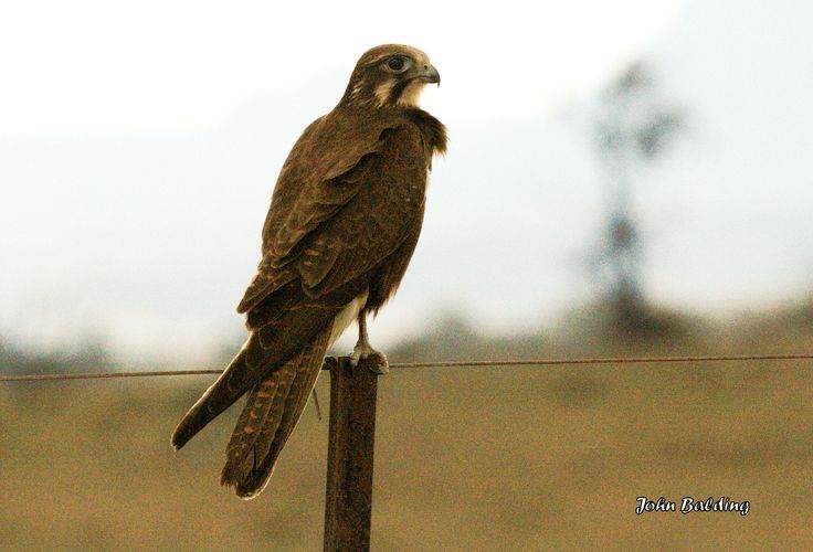 Brown Falcon, Glen Alice in the Capertee Valley, NSW