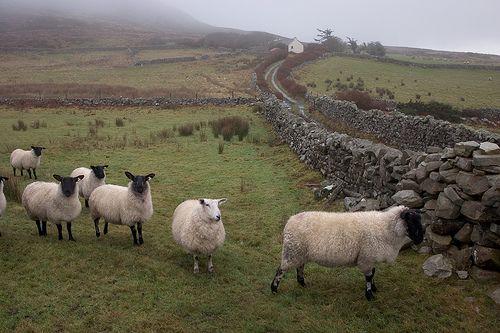 they're feckin' everywhere. <3  Irish sheep.