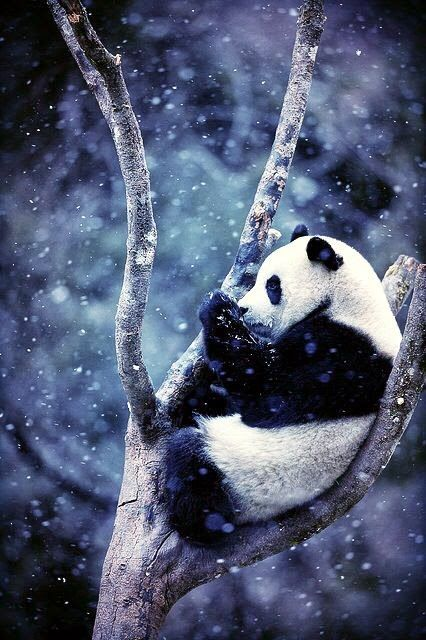 Panda in snow - Cute animals