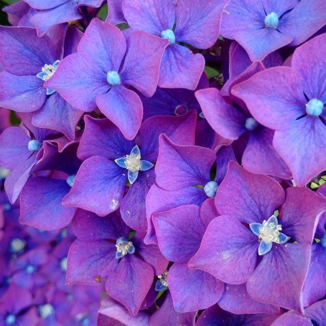 #hydrangea #purple #flower #summertime #VancouverBC #Blackberryphoto  Like ballerinas dressed in matching tutus.