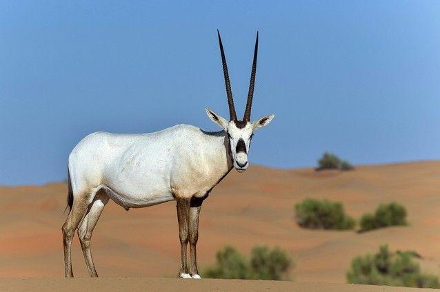 Arabian oryx (Oryx leucoryx). Photo: Max Earey /Shutterstock
