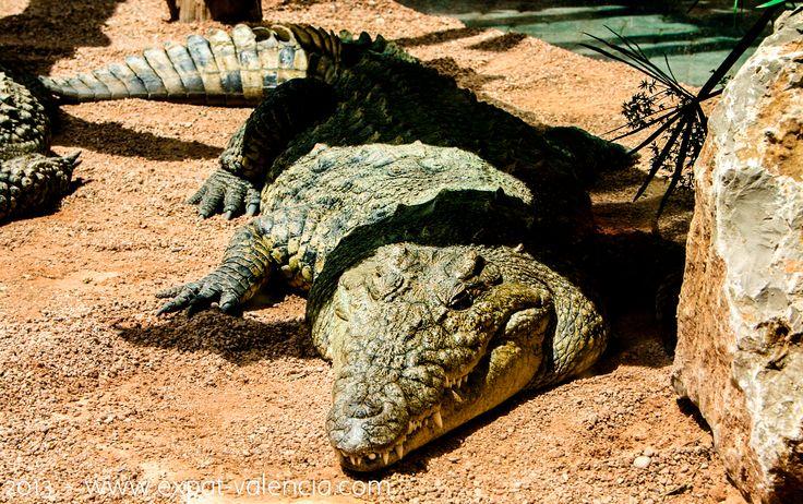 Crocodile du Nil au parc zoologique de Valence (#Valencia) : le #Bioparc.
