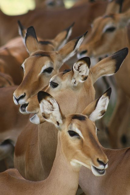The Impala is a graceful African gazelle that can jump quite high and far...