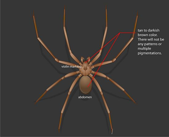 Identify a Brown Recluse | Brown