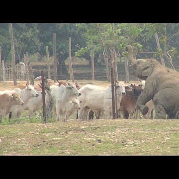 #ThrowBackThursday  When Navann met the cows, see how he show off. He is such a funny boy.  #ElephantNaturePark #TheHerd #Beautiful #Nature #Entertainment #Animal #Style #Tattoos #Funny #DIY