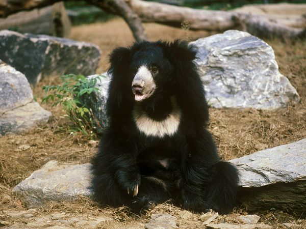 Sloth bears grow five to six feet long, stand two to three feet high at the shoulder, and weigh from 120 (in lighter females) to 310 pounds (in heavy males). TB sloth bear | Sloth Bears, Sloth Bear Pictures, Sloth Bear Facts - National ...