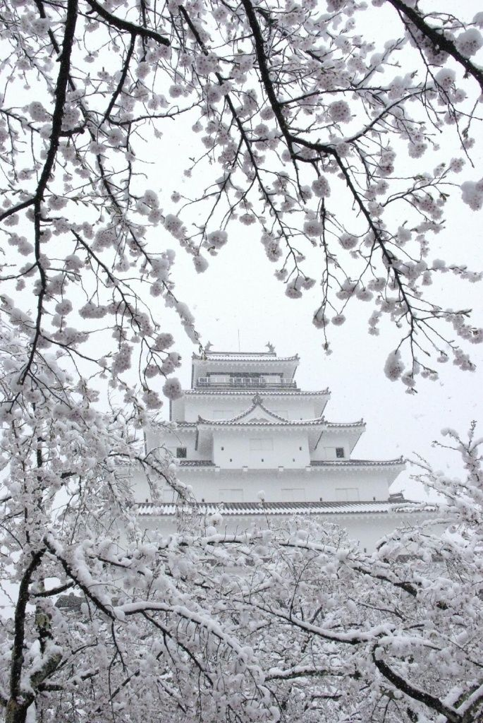 Japanese castle and Cherry blossoms with snow are so beautiful.