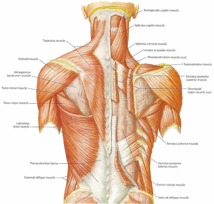 a well muscle and the o 39 jays on pinterest : diagram back muscles - findchart.co