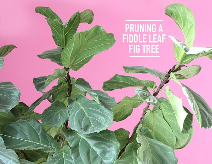 pruning a fiddle leaf fig tree i kept it alive for a year - Fiddle Leaf Fig Tree Care
