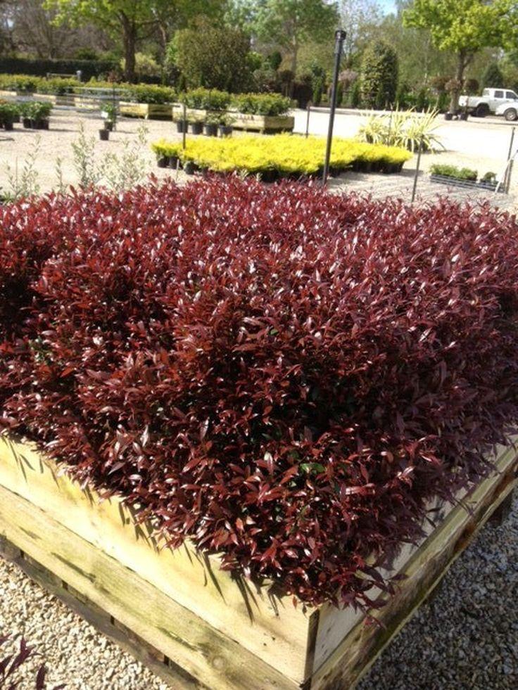 Acmena smithii 'Forest Flame' — Warners Nurseries