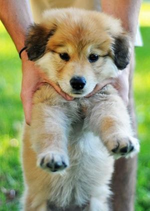 German shepherd/golden retriever mix. My two favorite breeds wrapped into this little cutie <3