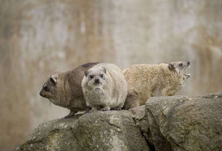 The Royal Zoological Society of Scotland's Edinburgh Zoo recently welcomed two baby Rock Hyraxes. They were born in the middle of February to mum, 'Sarabi'.