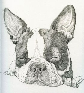 Boston Terrier Pet Dog Art Original Drawing 8 x 9 -Carla Smale by carla smale