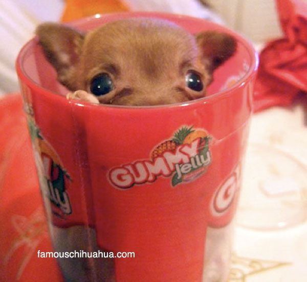chihuahua teacup | are teacup chihuahuas tiny chihuahuas that fit into a cup?