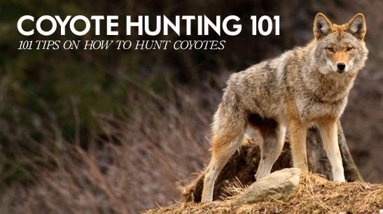 how to hunt coyotes, coyote hunting 101