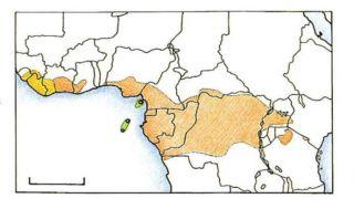 Gris du Gabon
