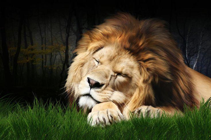 large prints of lions for sale   Sleeping Lion Digital Art
