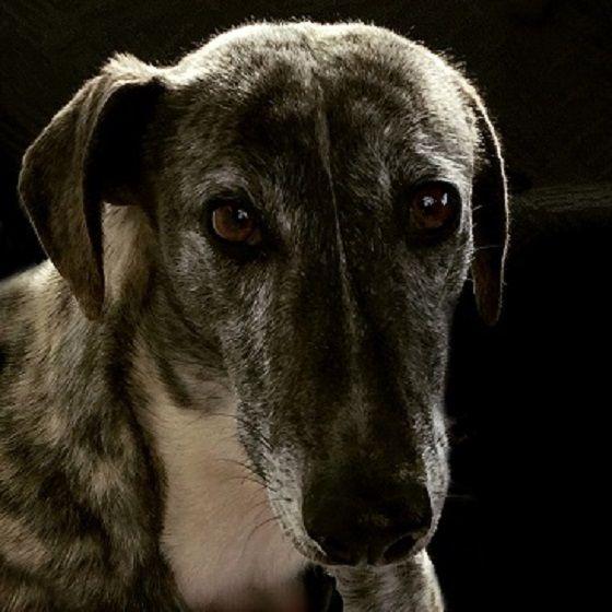 Spanje is het enige Europese land waar jagen met honden nog mag. Jaarlijks worden zo'n 50.000 galgo's gedumpt of gedood. Teken de petitie om dit te stoppen!