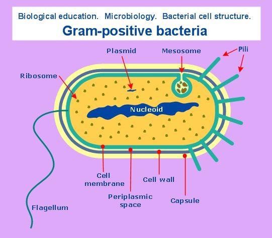 gram negative bacteria list pdf