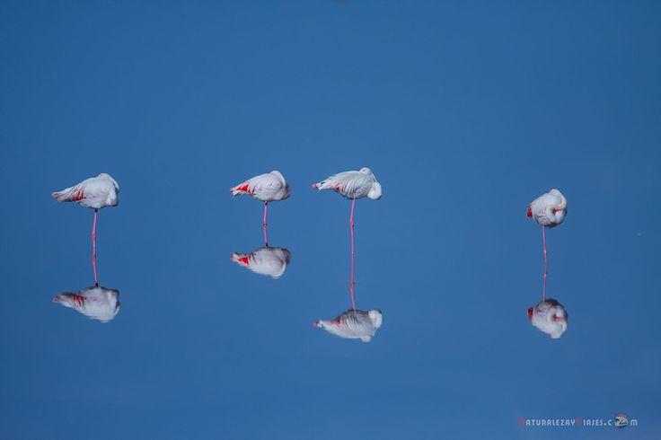 Dónde ver aves en el Algarve, Portugal - via Naturaleza y Viajes 16-01-2017 | El birdwatching, del que os hablé en este artículo que publicamos hace un par de meses, se basa en la observación y el estudio de las aves silvestres. Casi 300 especies de este grupo de vertebrados (entre rapaces, marinas, limícolas, anátidas, paseriformes y otras) se dan cita en este territorio repartidas a lo largo de todo el año. Foto: Flamencos