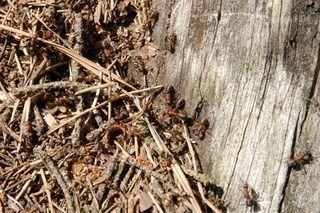 Can Black Ants Kill a Tree? | eHow