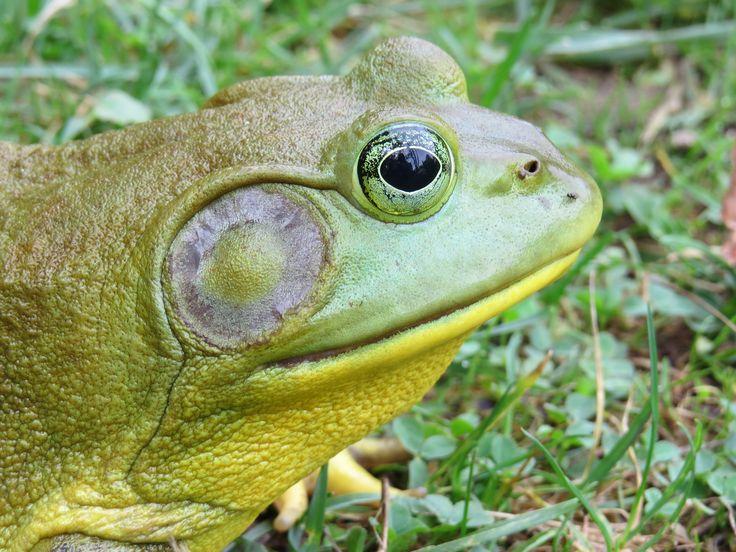 Beautiful frog Frog, Animals, Turtle