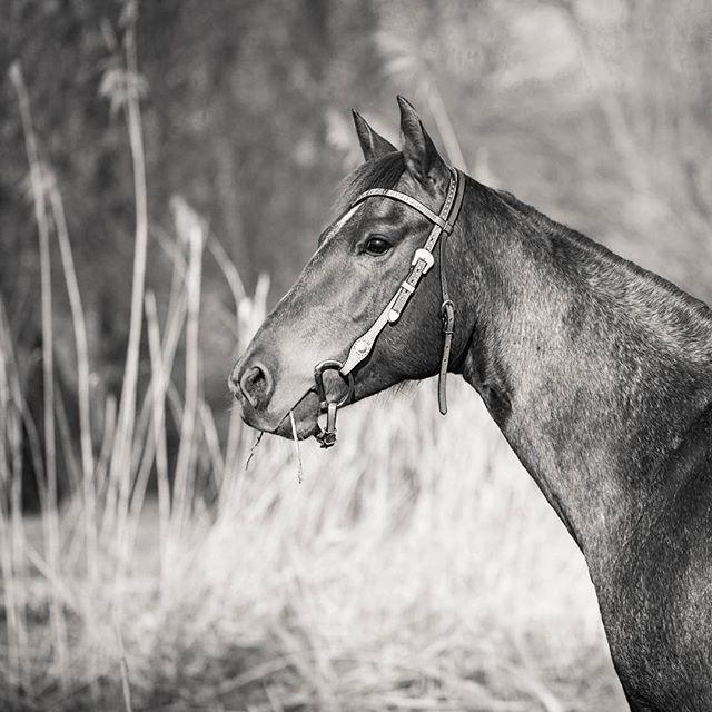 Billy the beauty numb. 2 #horse #pferd #quarterhorse #quarter #beauty #beautiful #equinephotography #pferdefotografie #lightroom #licht #und #schatten #monochrome #schwarz #weiss #black #and #white