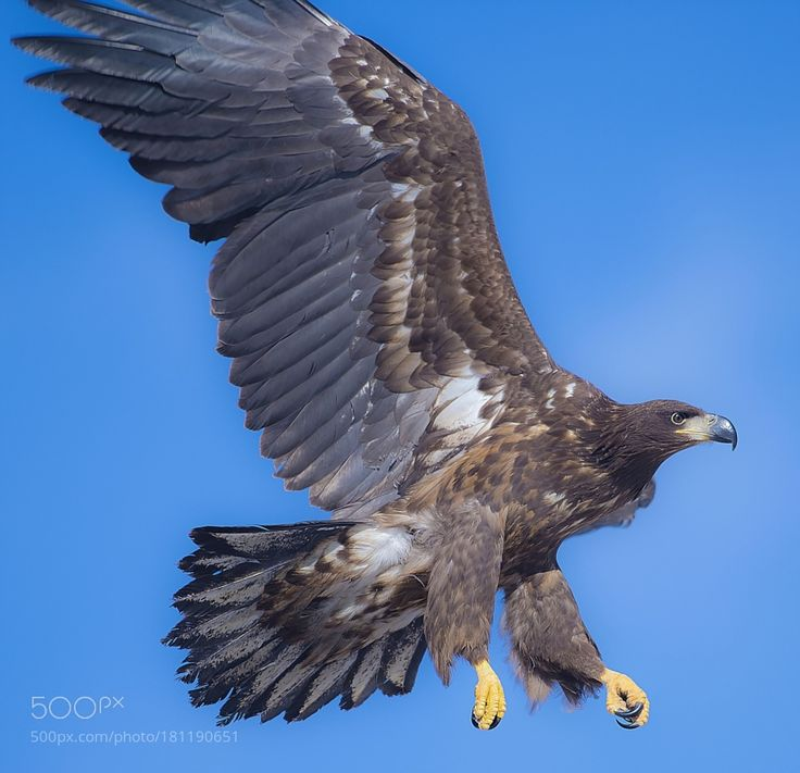 a white-tailed eagle by 55abk via http://ift.tt/2f15Dxg