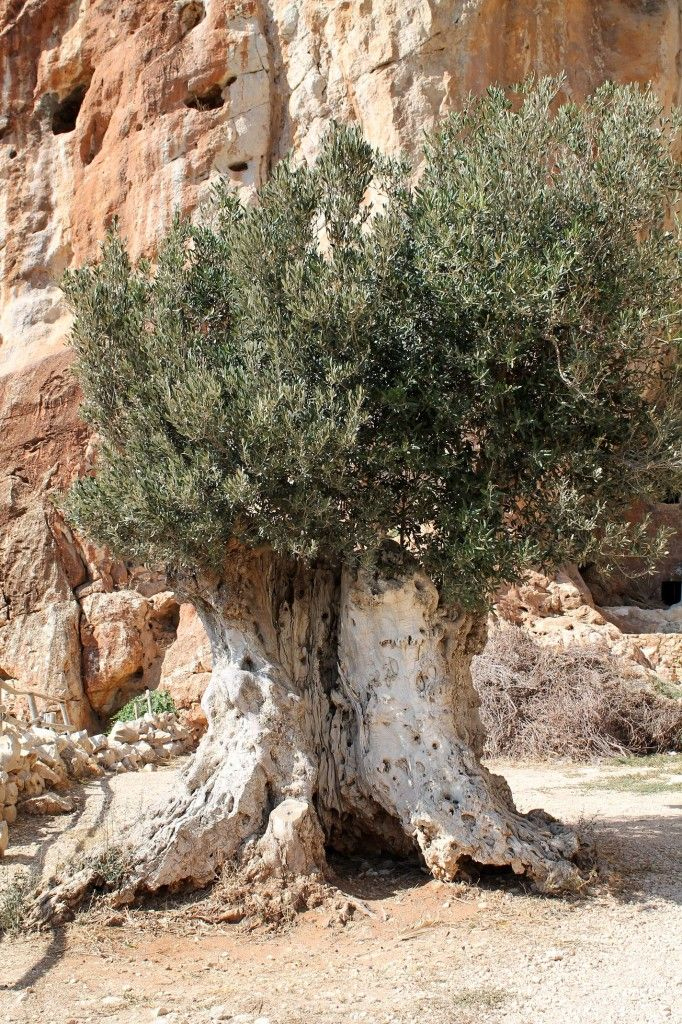 Old old olive tree in Sicily