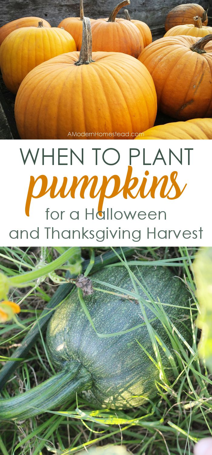 Dreaming of homegrown pumpkins for Halloween and Thanksgiving? Find out when to plant pumpkins for the perfect fall harvest!