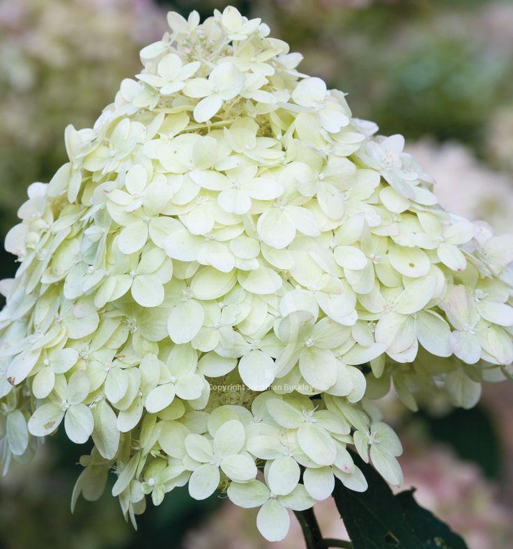 17 best images about plant wishlist on pinterest trees. Black Bedroom Furniture Sets. Home Design Ideas