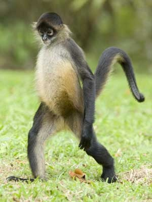 Spider monkey... Saw some of his brothers in Mayan Riviera