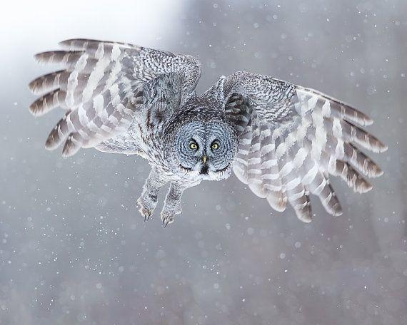 Owl Photo, Owl Print, Nature Print, Fine Art Print, Bird Picture, Bird Photography, Wall Art, Snow Angel, Angel, winter, Great Grey Owl