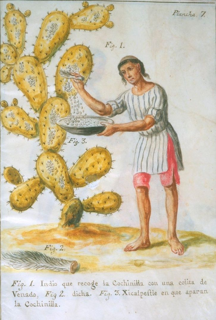 """Cochineal. The dried shells of the insect was used as a dye. 18th century recipes to prepare the dye by boiling in water or seeping in brandy. To stew Golden Pippins to look like Apricots. To collar Beef. A Compote of Pears. To pickle Eggs. To pot Beef.   Image: """"Indian Collecting Cochineal with a Deer Tail"""" by José Antonio de Alzate y Ramírez 1777.Newberry Library: Vault Ayer MS 1031"""