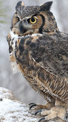 NAME: Vincent GENDER: Male TYPE: Horned Owl DESCRIPTION: eats a lot, proud, can be aggressive, loyal