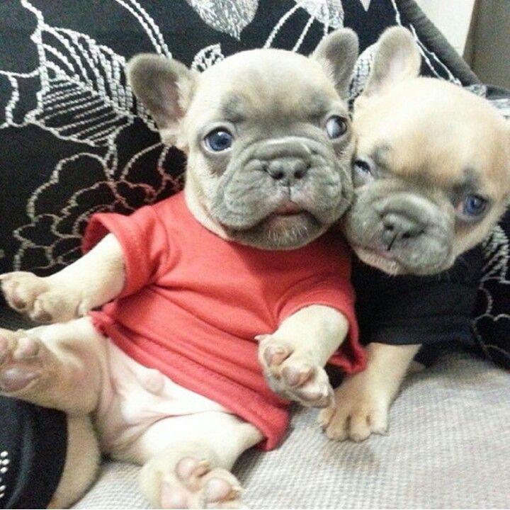 French Bulldog Puppies.