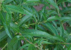 Kräuter-Steckbrief Zitronenverbene (Aloysia citrodora) - Eigenschaften und Verwendung