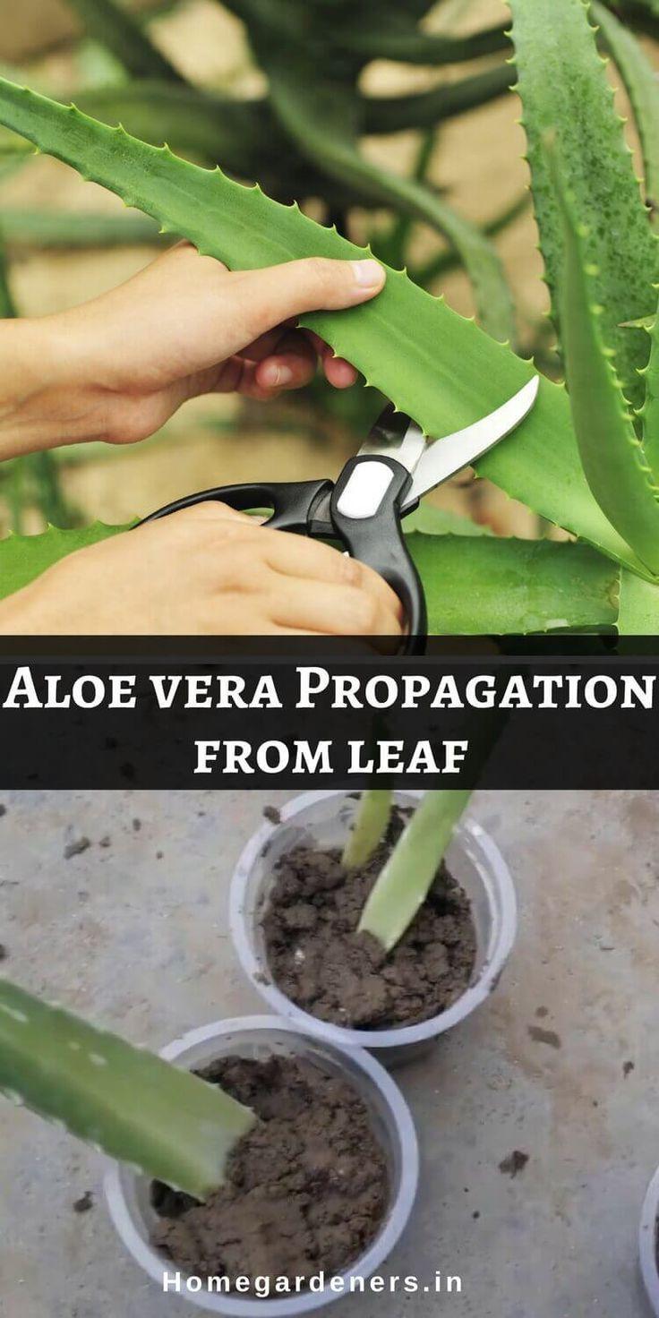How To Take Care Of Aloe Vera Aloe Vera Plant Care Best Ways To Maintain Aloe Vera At Home Sukkulenten Cultivo De Plantas Jardineria Y Plantas Jardineria En Macetas