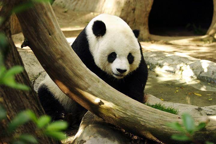 자이언트 판다 -GIANT PANDA 샌디에이고 동물원의 수컷 판다, 가오 가오.