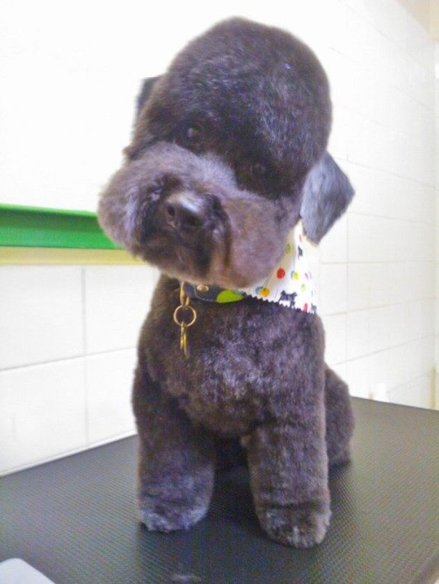 Berkeley's 'Lagotto' inspired clip on a Toy Poodle, shaved