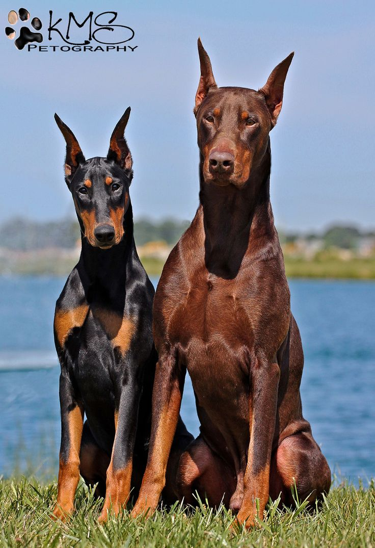 warlock doberman pinscher 18 - photo #15