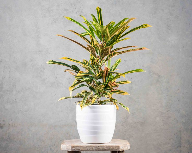 Croton Arrowhead in white pot - nothing shy about this plant! Tropical and unusual - loves a warm position with good light.