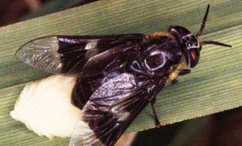 An adult female deer fly, Chrysops cincticornis, laying eggs.